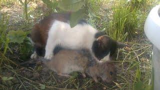 Жесть-кошка убийца крыс,неожиданно...