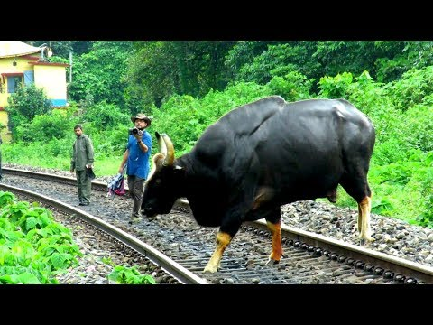 Indian Gaur crossing Railway Track.