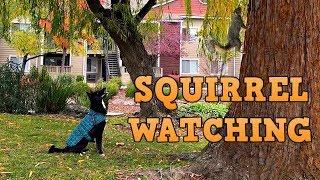 shiba dog goes squirrel watching