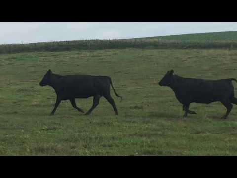 Dunlap Livestock Auction Aug 8th 2017