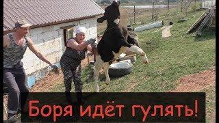 Выгон коров  на пастбище/Деревенское родео с быком Борей/Немного о электропастухе/