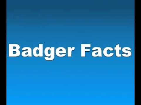 Badger Facts Facts About Badgers - YouTube