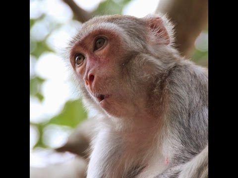 monkeys should be able to talk just like us so why don t they