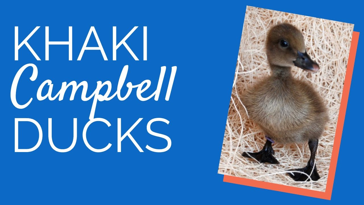 Khaki Campbell Ente Unkompliziert Vertraglich Sozial Und