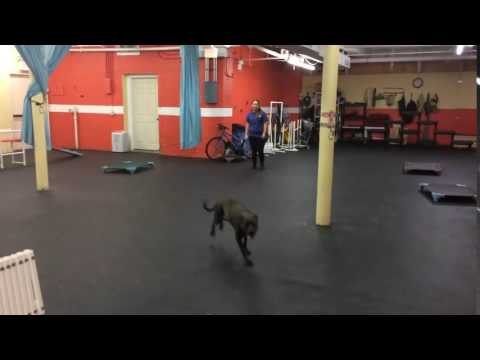 Training | Recall with distractions | Solid K9 Training Dog Training