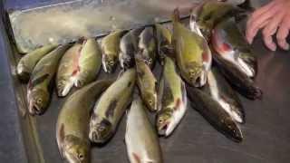 Pêche à la truite mouchetée indigène dans les monts-Valin