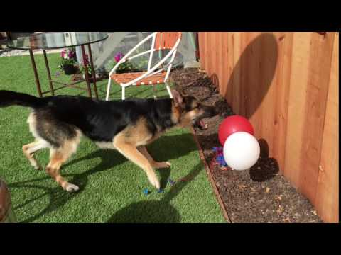 Altor the GSD discovers balloons