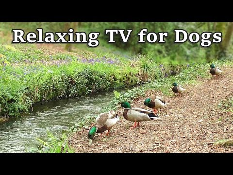 Dog Relaxation : TV for Dogs - 8 Hours of Calming Video for Your Dog at The Babbling Brook ✅
