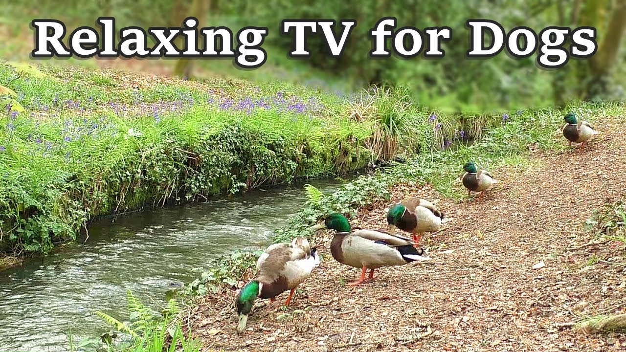 Relax Your Dog TV - 8 Hours of Relaxing TV for Dogs  at The Babbling Brook ✅