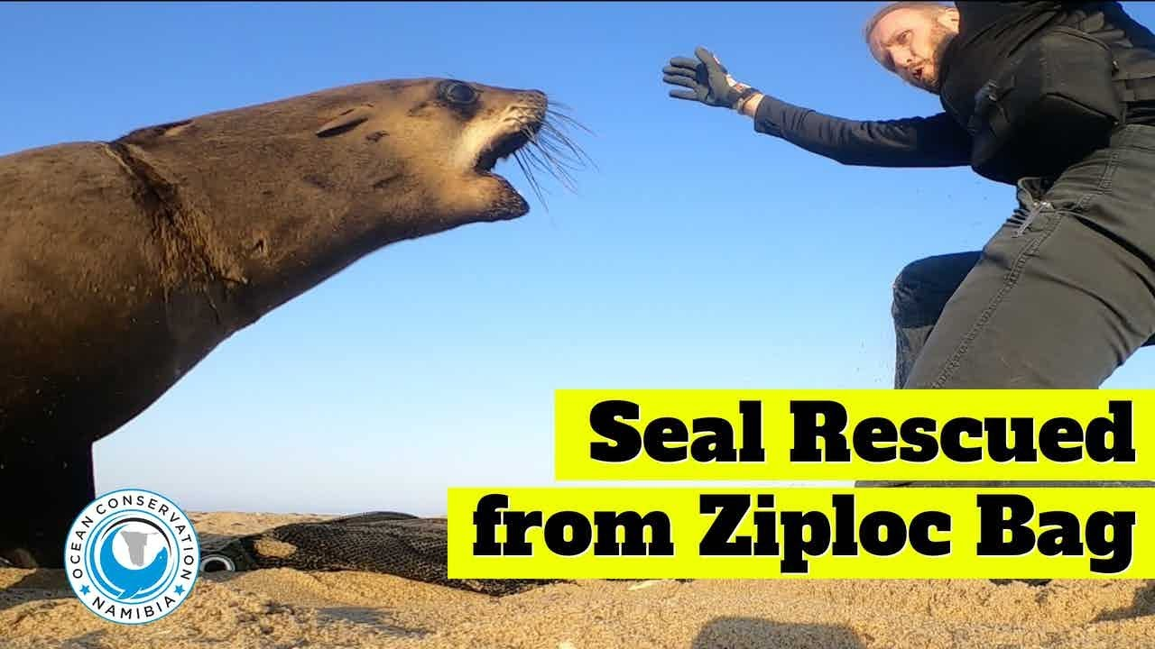 Rescuer Twists Knee During Seal Rescue