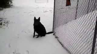 Beautiful Black German Shepherd Dog Training And Enjoying The Snow In Nc
