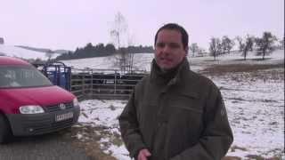 Stadtjagd von 43 Rindern in Freistadt
