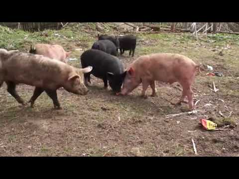 Применение сексинона свиньям