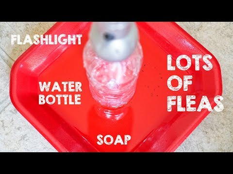 All Natural Trap To Get Rid Of Fleas