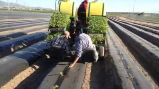 Planting watermelon