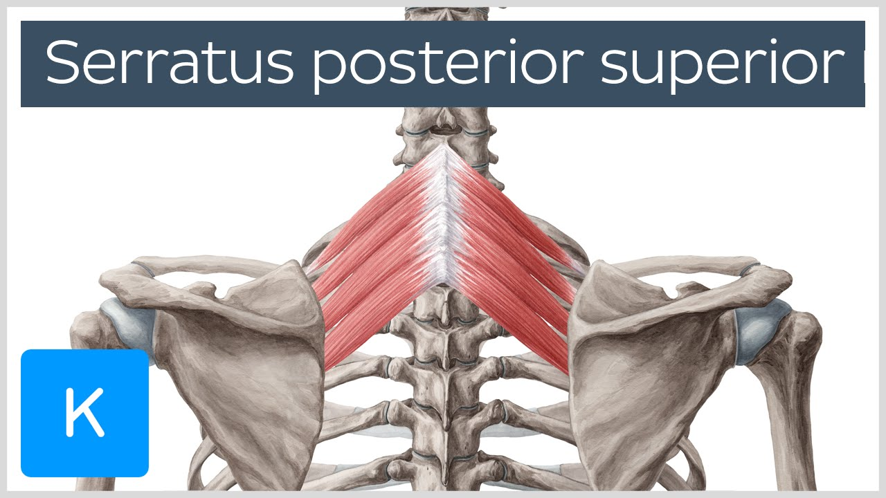 Posterior Superior Serratus Muscle Human Anatomy Kenhub Youtube