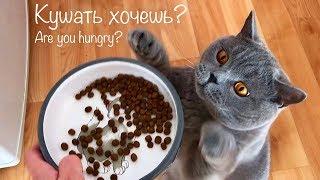 Голодный Котёнок & Взрослый британский кот. / Hungry british cat Harry