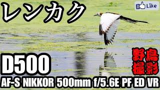 【野鳥撮影】珍鳥!迷鳥レンカクを狙う!D500×500mm f/5.6E PF ED VR