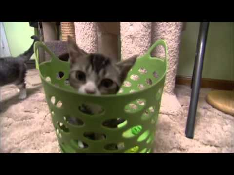 Cats 101 Animal Planet - American Wirehair ** High Quality **