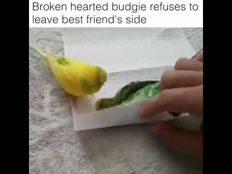 Broken heart budgie refuses to leave best friend side (must cry)