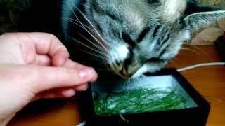 Хомякам можно сено??? Кошка ест сено. Возвращение Мурки !