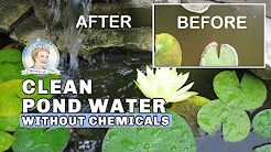 How to Clean Murky Pond Water without Chemicals | Full Version