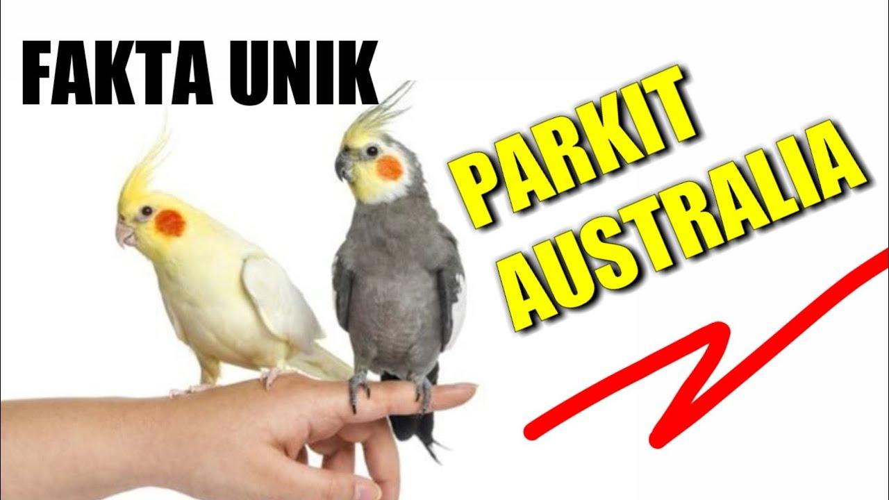 Fakta Unik Tentang Burung Falk Parkit Australia Youtube