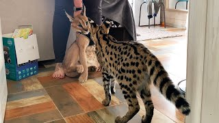 CARACAL MEETS SERVAL / Caracal is shocked by the size of the serval