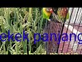 Pancingan Suara Burung Lovebird Terbaru Burung Kalian Di Jamin Nyaut  Mp3 - Mp4 Download