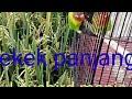 Pancingan Suara Burung Lovebird Terbaru Burung Kalian Di Jamin Nyaut Omkicau(.mp3 .mp4) Mp3 - Mp4 Download