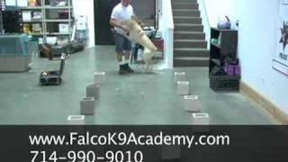 Detection Dog Training - Falco K9
