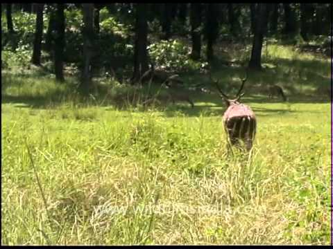 Swamp Deer being rescued by forest department staff at Kanha