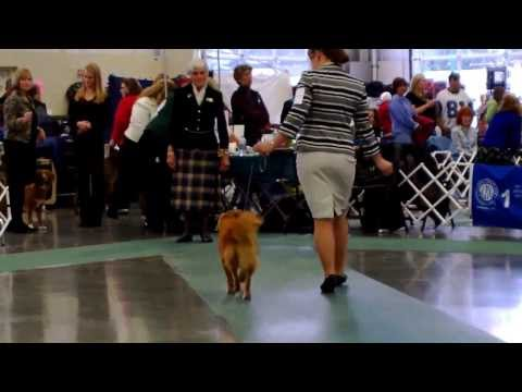 Whidbey Island Kennel Club Dog Show (Tollers), 17 November 2013 (HD)