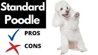 Standard Poodle Pros And Cons | The Good AND The Bad!!