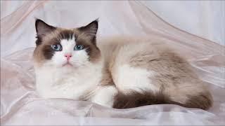 ТОП 9 самых ласковых пород кошек