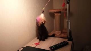 Британский короткошерстный котёнок шоколадного окраса Quickly, 3 месяца