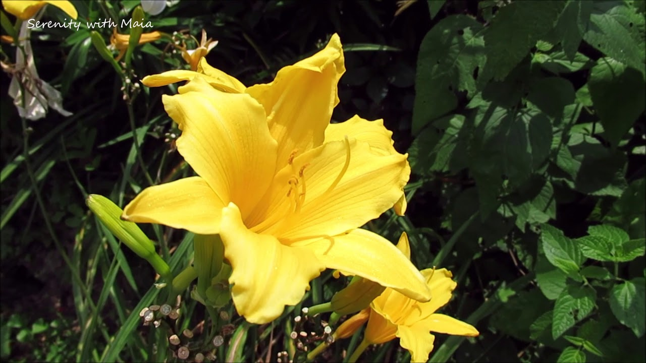 Yellow Lily L Stella And Hyperion L Flowers And Relaxing Music L