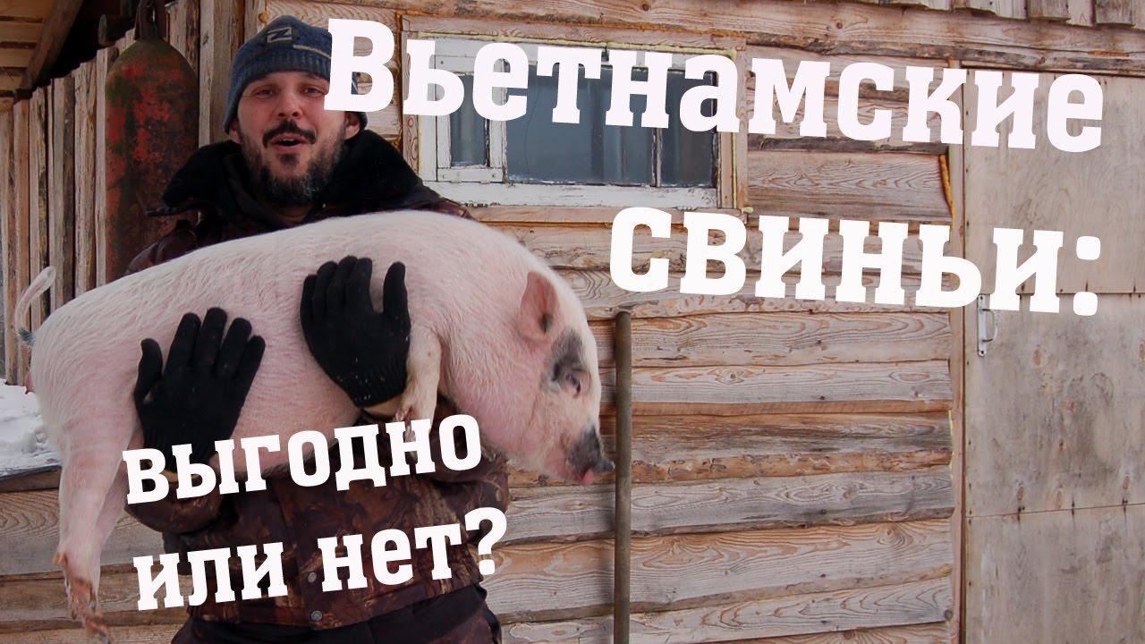 Вьетнамские свиньи - выгодно или нет?