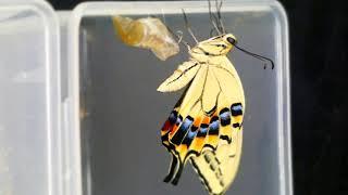 Old World Swallowtail Emerging in Timelapse キアゲハの羽化と翅伸展中の蛹便排泄【10倍速動画】 thumbnail