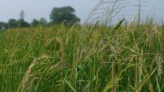 Beautiful green grassy paddy field during daytime in India - healthy food