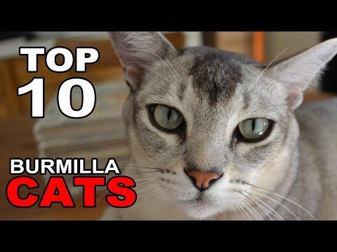 TOP 10 BURMILLA CATS BREEDS