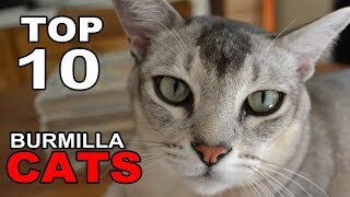 TOP 10 BURMILLA CATS BREEDS