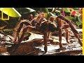L'araignée Goliath, la plus grande du monde, mange des souris