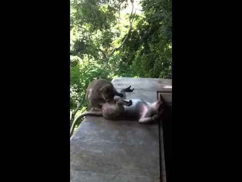 giving blowjob Monkey a
