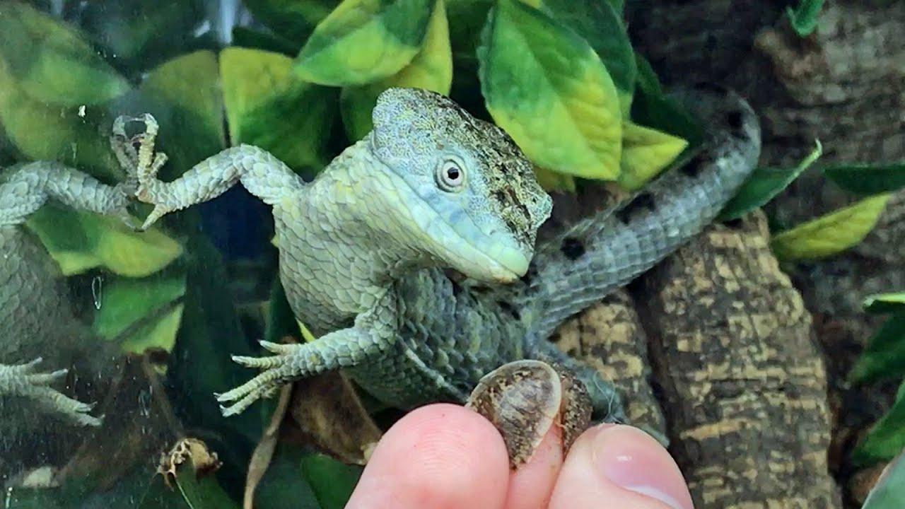 Hand-feeding my Baby Dragons (Abronia mixteca)