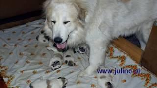 Great Pyrenees Puppies - Julino Kennel, Poland.wmv