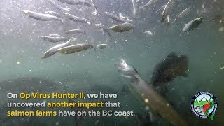 Operation Virus Hunter uncovers new impact salmon farms have on the wild.