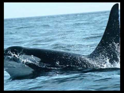 Native American Animal Spirit Guide The Whale