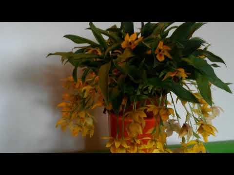 Орхидея Променея, Уход за Променей