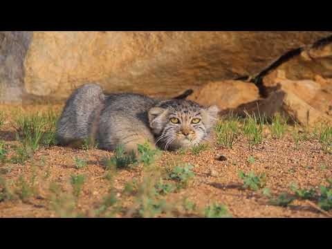 Pallas' cat  watching and photographing tour in Mongolia 2018-2019